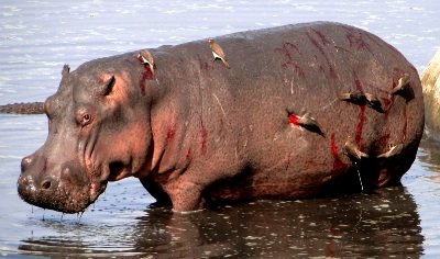 Don't Fuck Around With Hippos